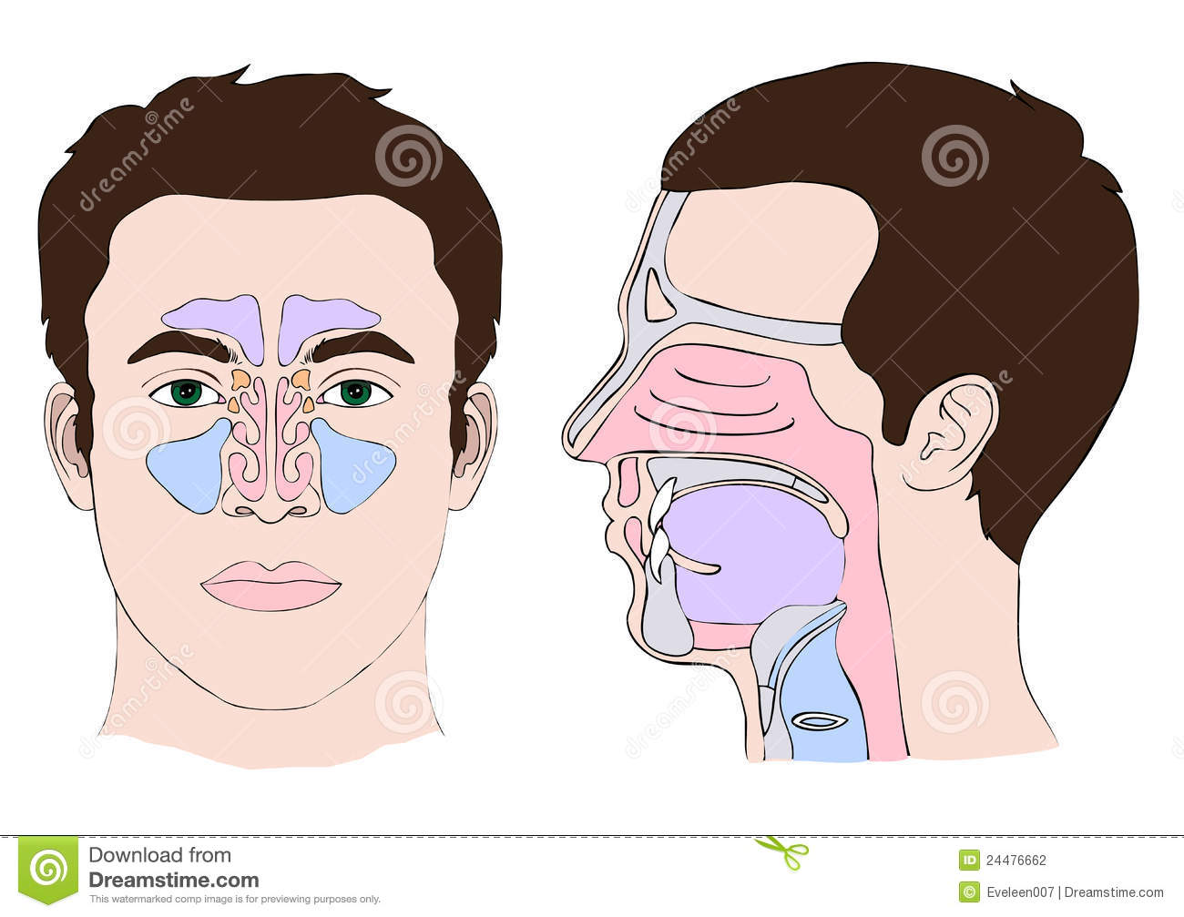 Anatomy Of The Nose Stock Vector  Image Of Palate  Nasal