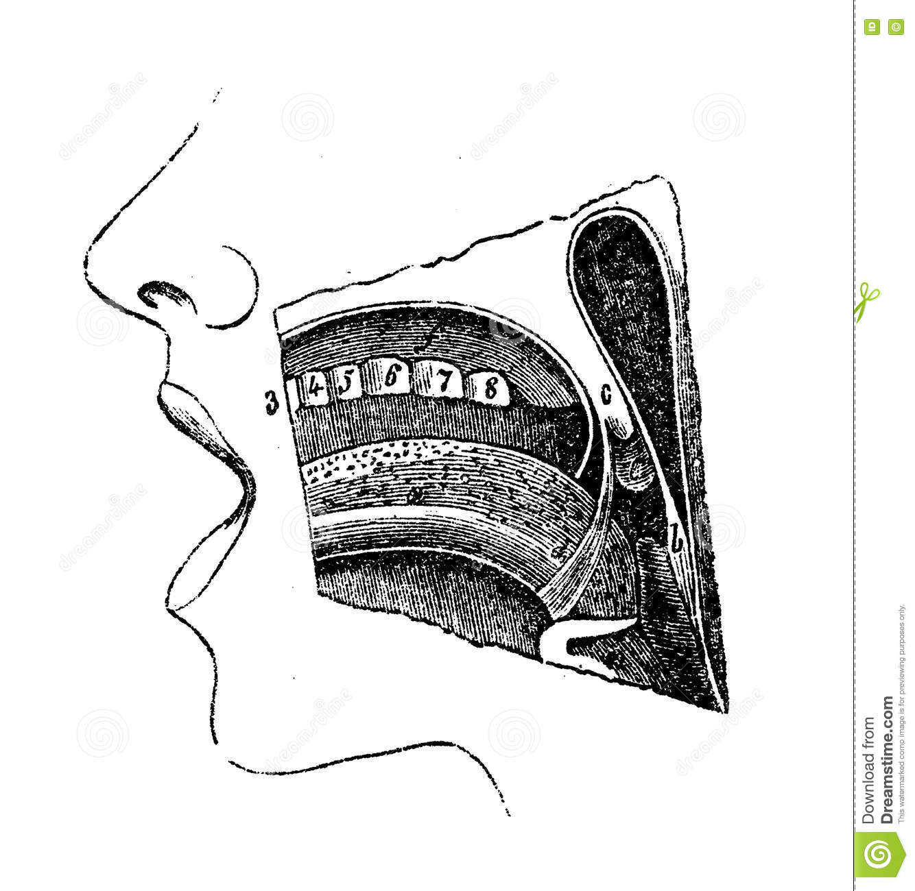 Anatomy Oral Cavity Vintage Engraving Stock Illustration