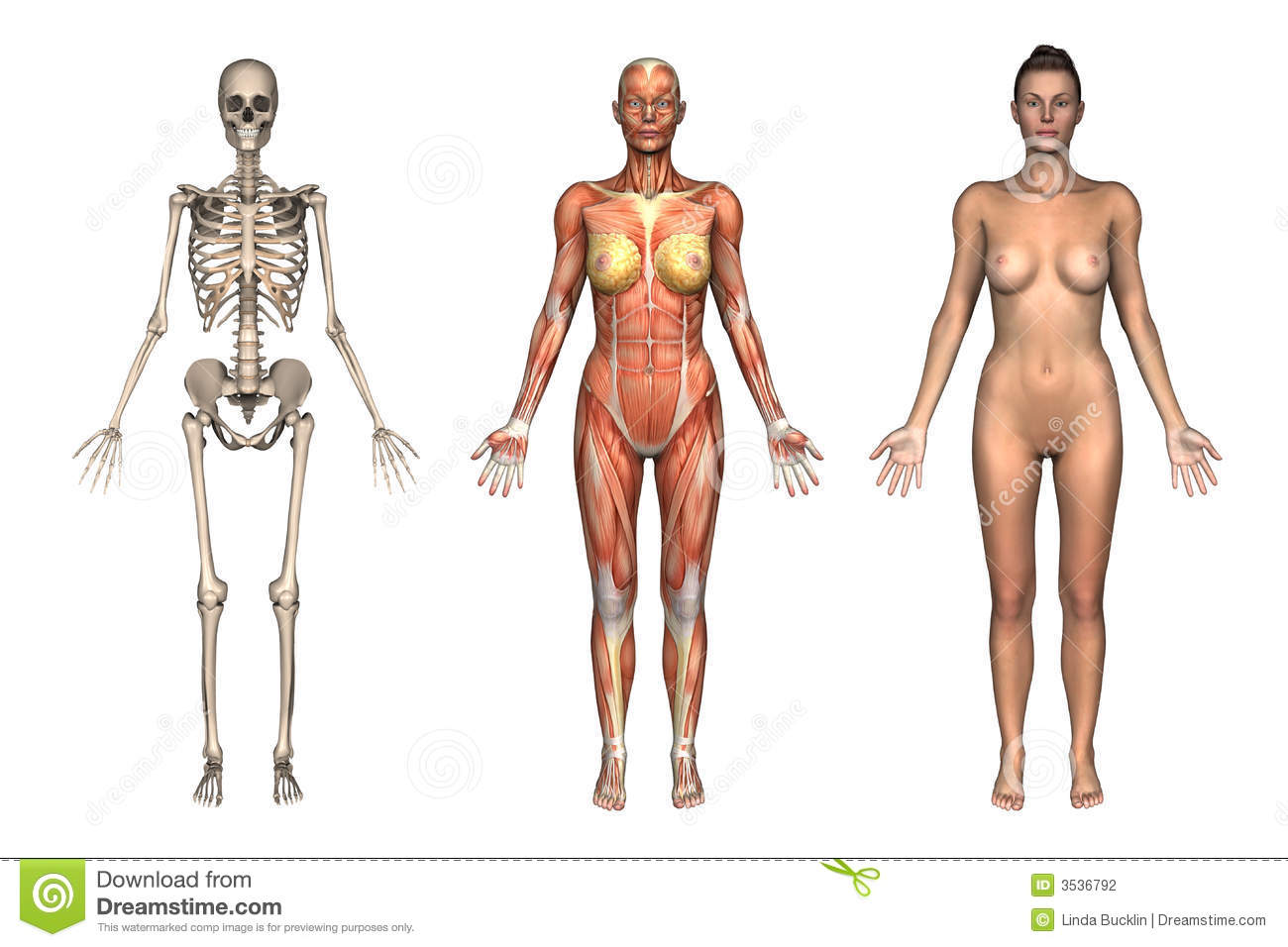 Anatomy Overlays Female Front Stock Illustration Illustration Of