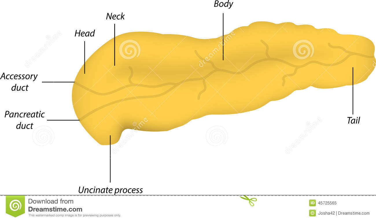 Anatomy Of The Pancreas Stock Image Image Of Vater Health 45725565
