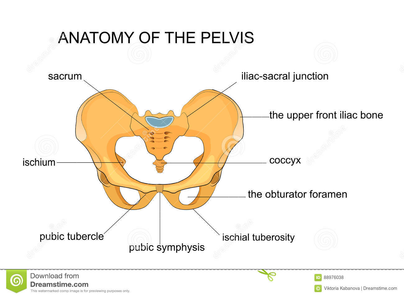 Anatomy of the pelvis stock vector. Illustration of anatomical ...