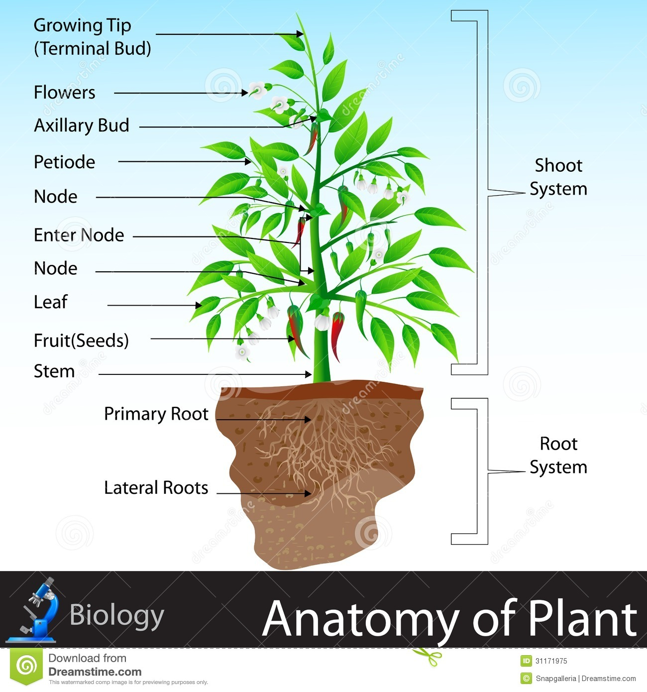 Anatomy of Plant stock vector. Illustration of leaf, cell - 31171975
