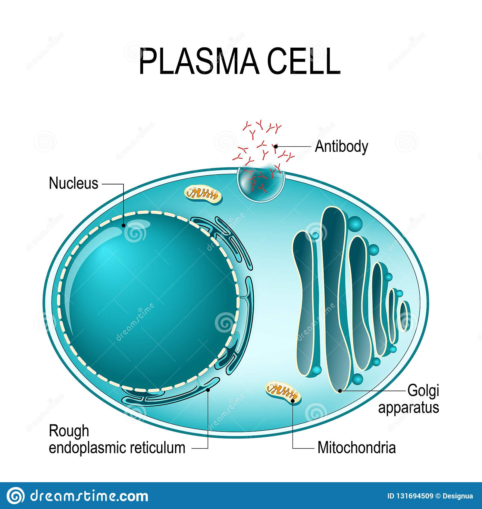 Anatomy Of A Plasma Cell  Or B Cell  Or Plasmocyte  Stock Vector
