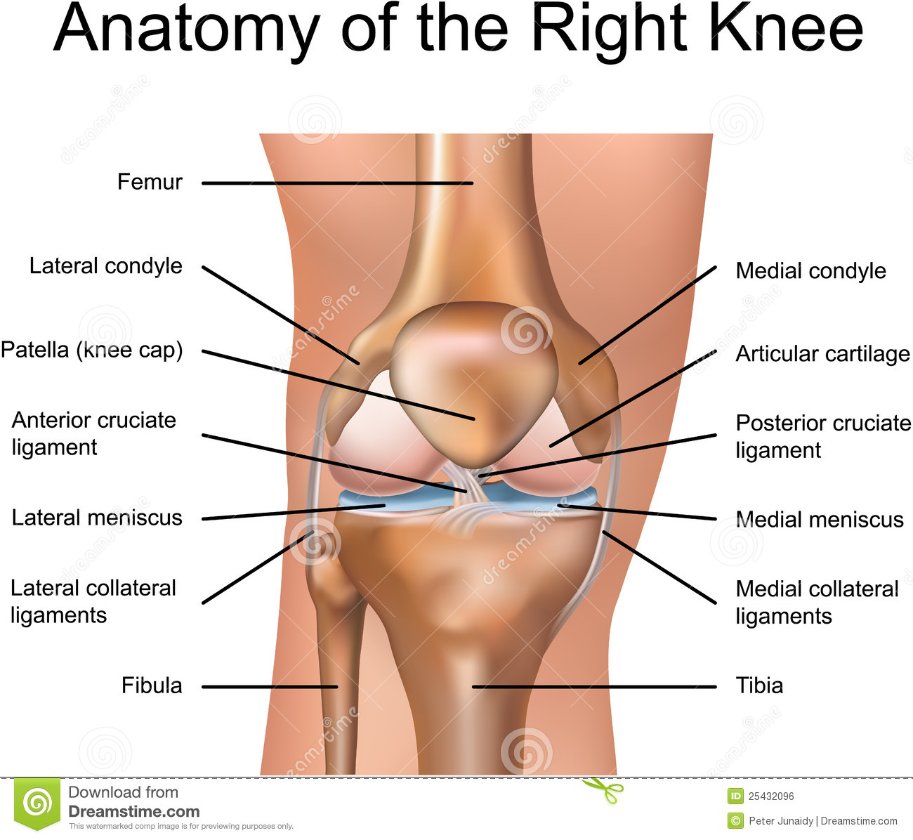 Anatomy of the Right Knee stock vector. Illustration of anatomical ...