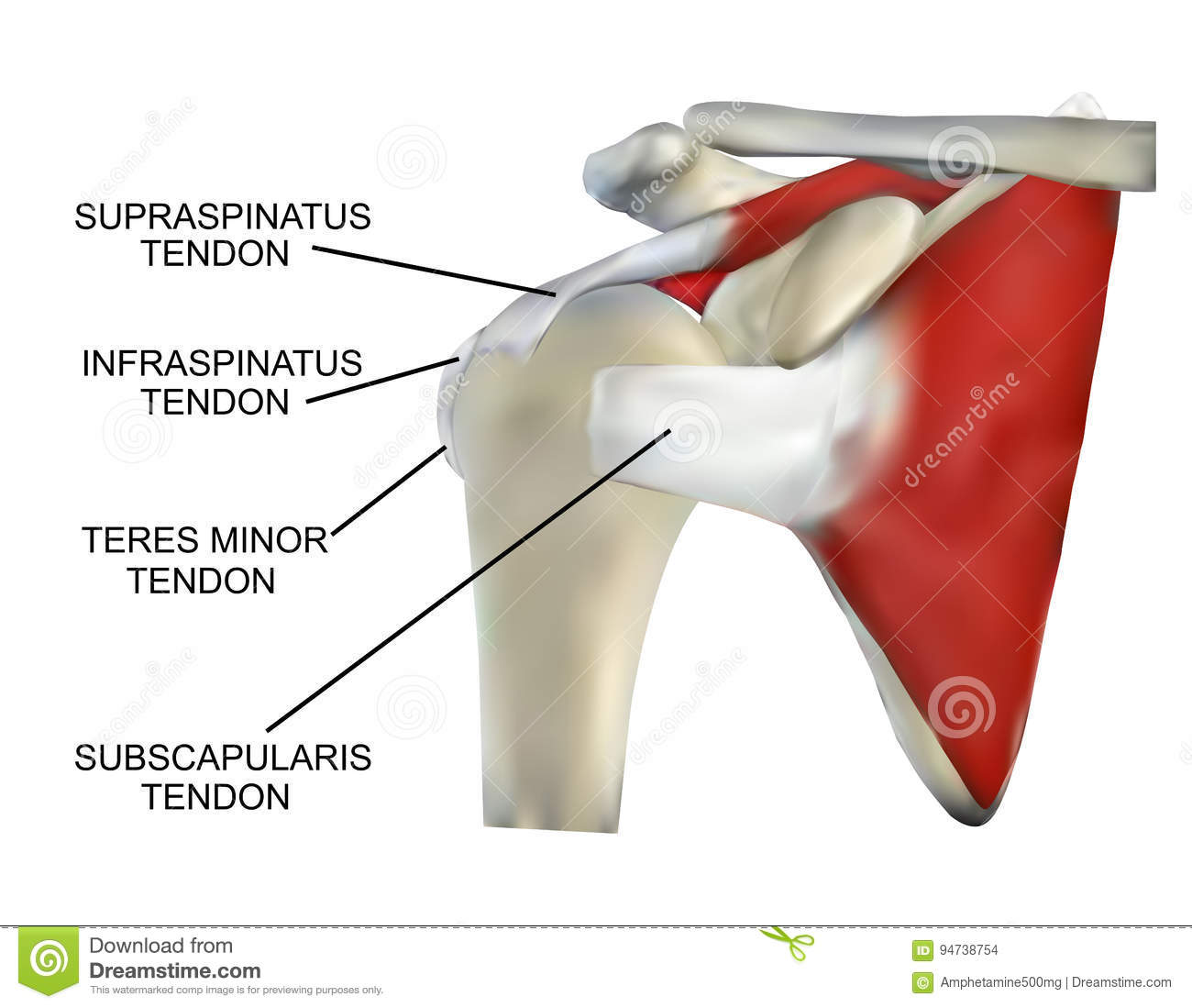 Anatomy Of The Rotator Cuff Muscles Stock Illustration