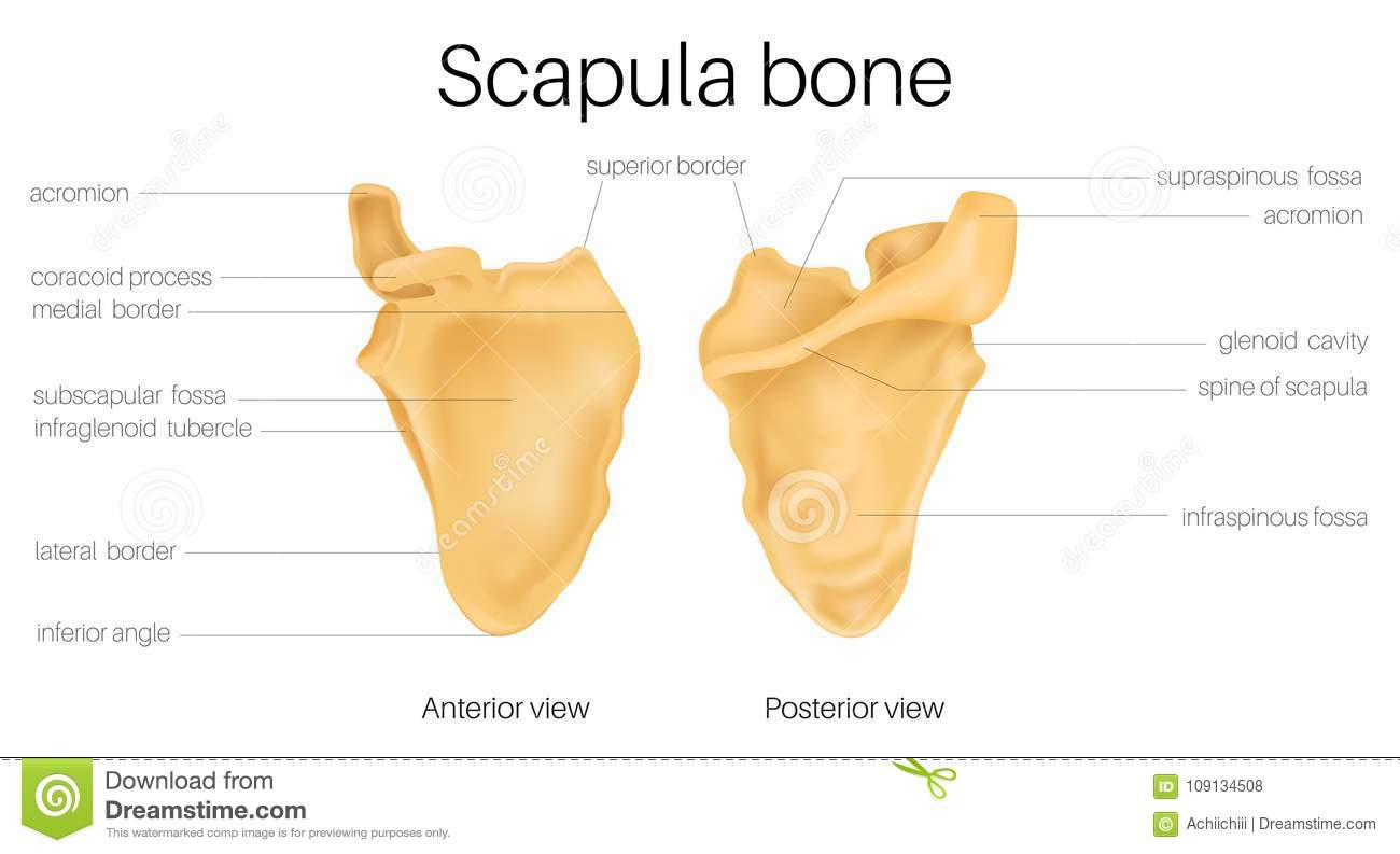 scapula stock illustrations 1 977 scapula stock illustrations