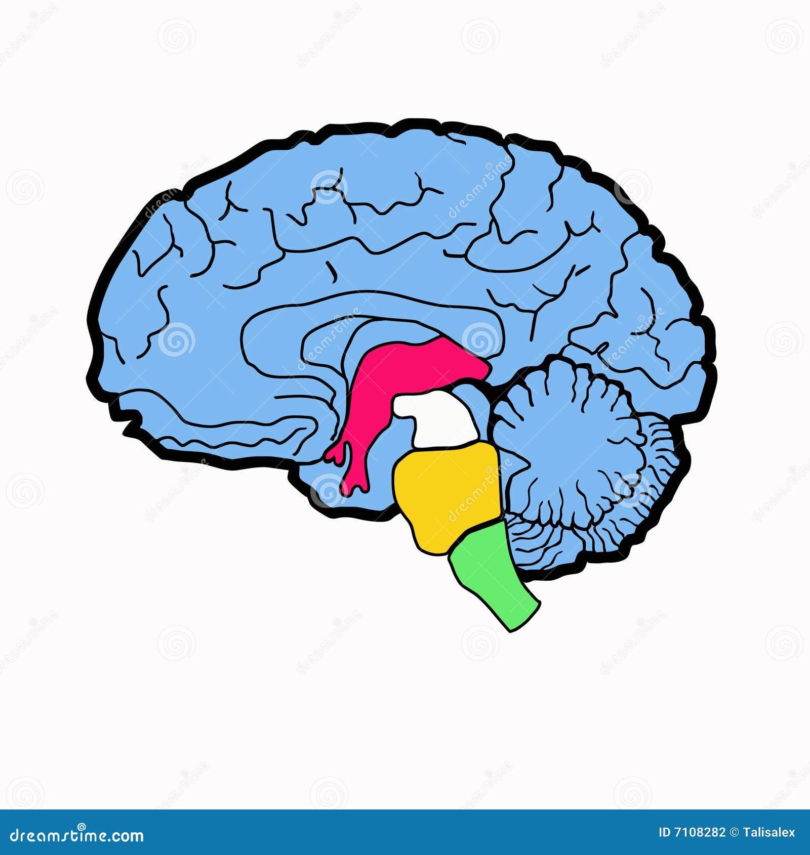 Anatomy scheme of brain stock illustration. Illustration of clipart ...