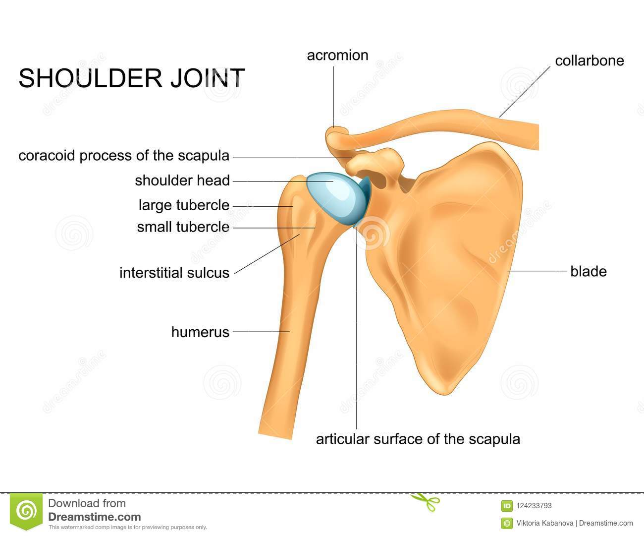 Anatomy Of The Shoulder Joint Stock Vector - Illustration of human ...