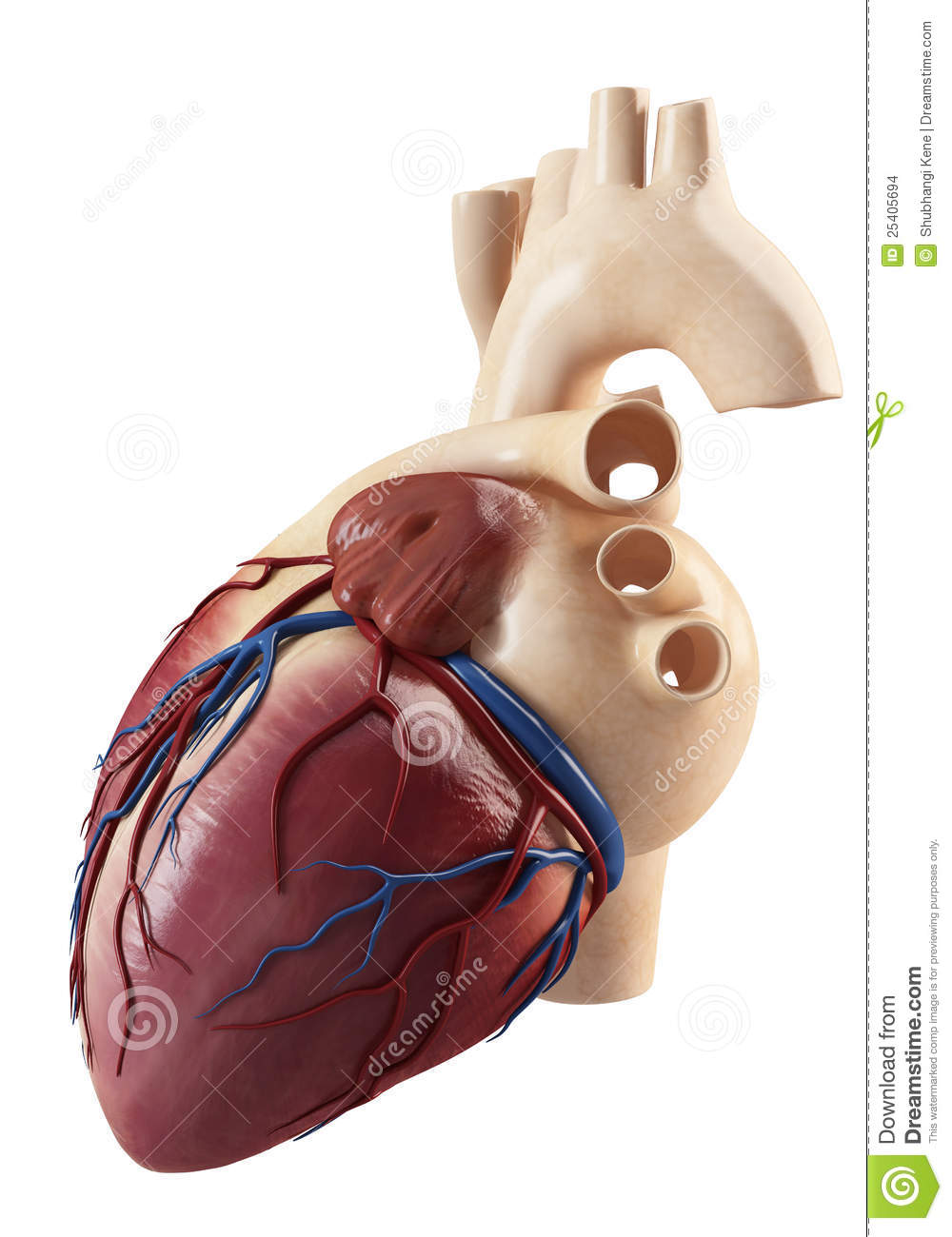 Anatomy Of Side View Of The Human Heart Stock Illustration