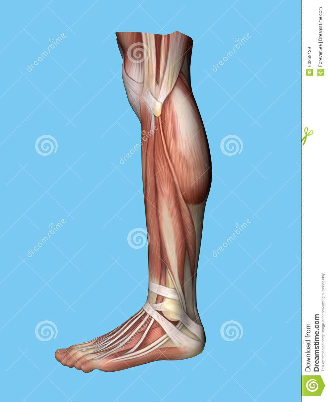 Anatomy side view of leg stock illustration. Illustration of anatomy ...