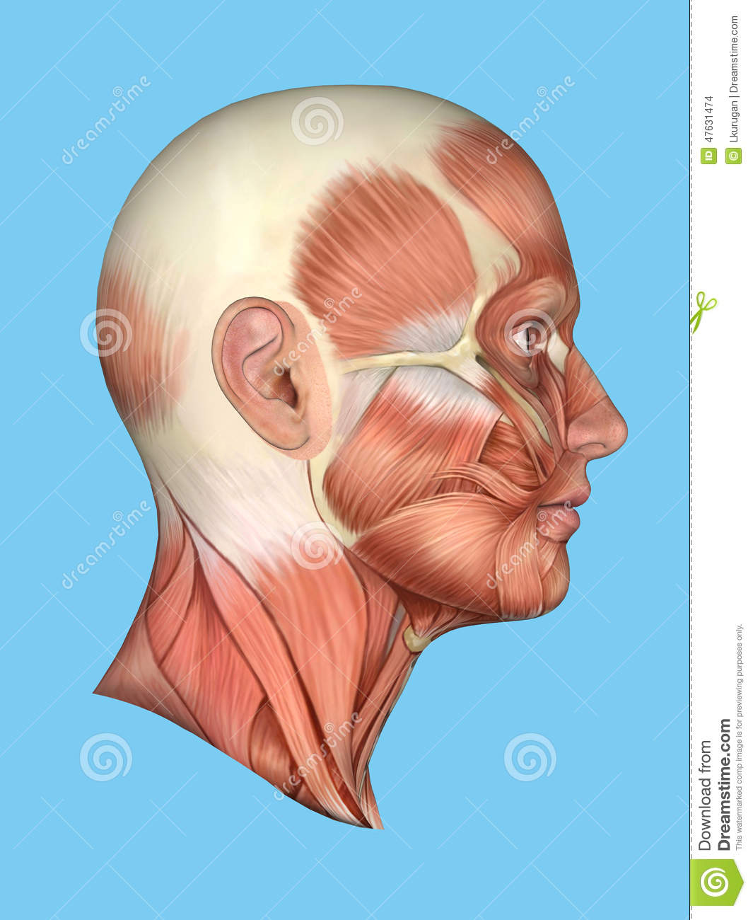 Anatomy Side View Of Major Face Muscles Of A Man Stock Illustration