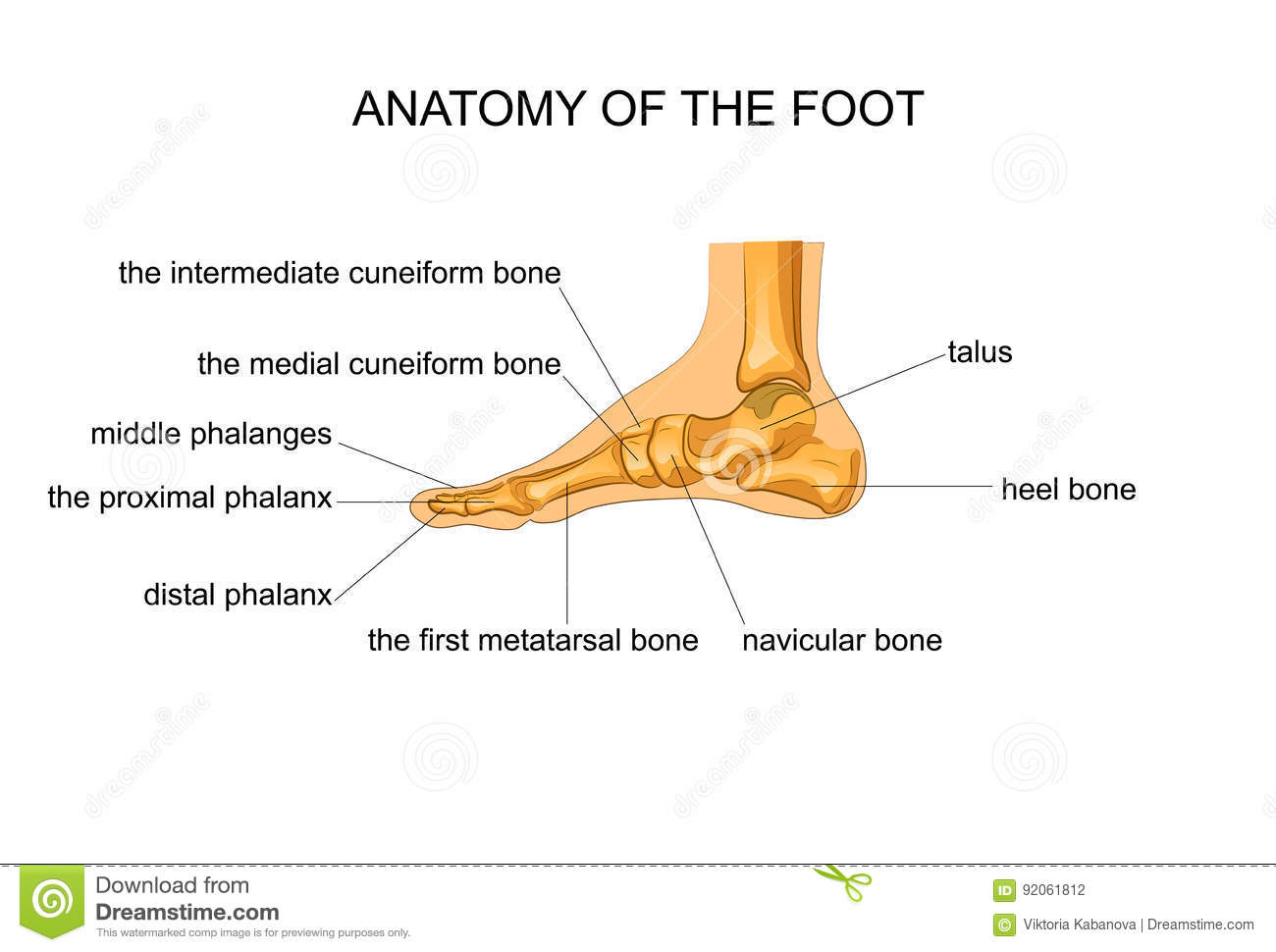 Anatomy Of A Skeleton Foot Stock Vector Illustration Of Healthcare