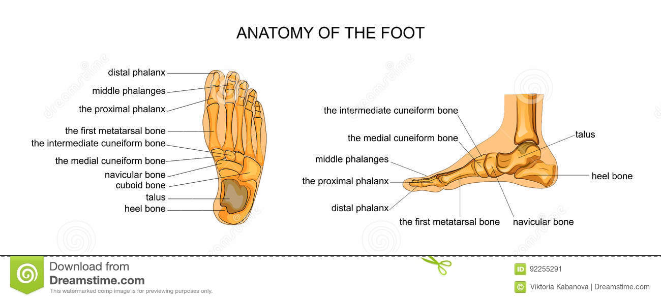 Anatomy Of A Skeleton Foot Stock Vector Illustration Of