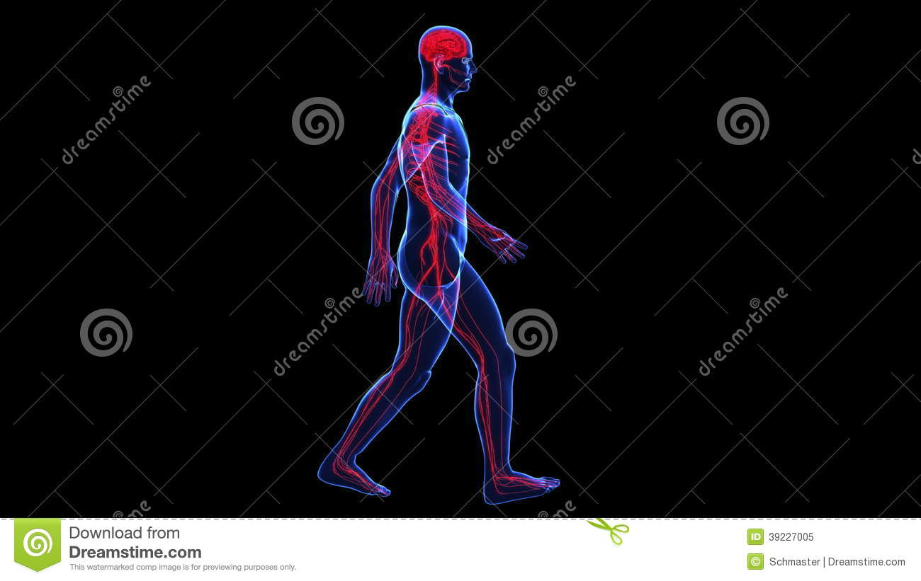 Anatomy Skin And Nervous Stock Video Illustration Of Neurology