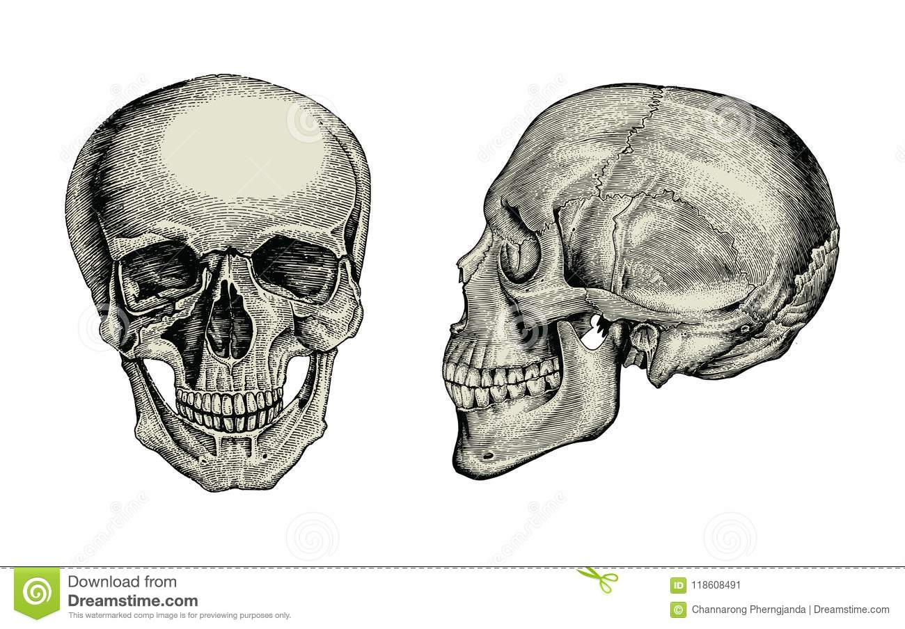 Anatomy Skull Hand Drawing Vintagelateral And Front View Of Hum