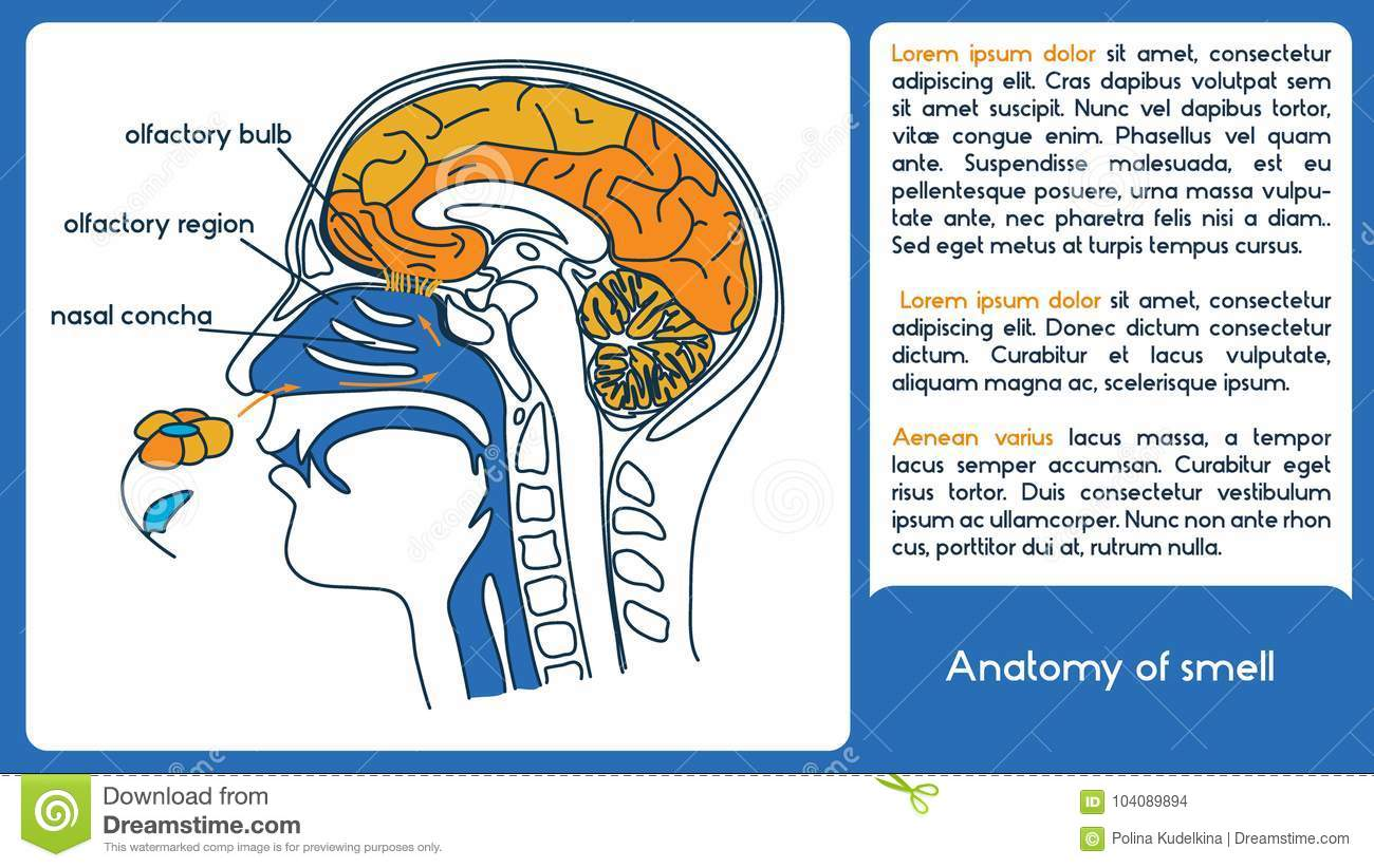 Anatomy Of Smell From Olfactory Region To Olfactory Bulb Stock