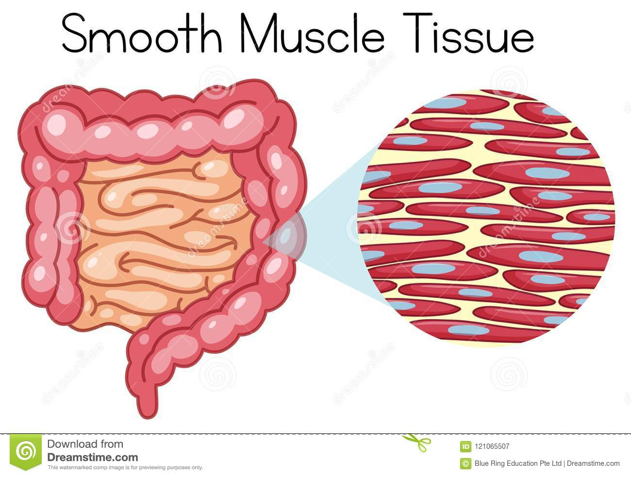 Anatomy Of Smooth Muscle Tissue Stock Vector Illustration Of Image