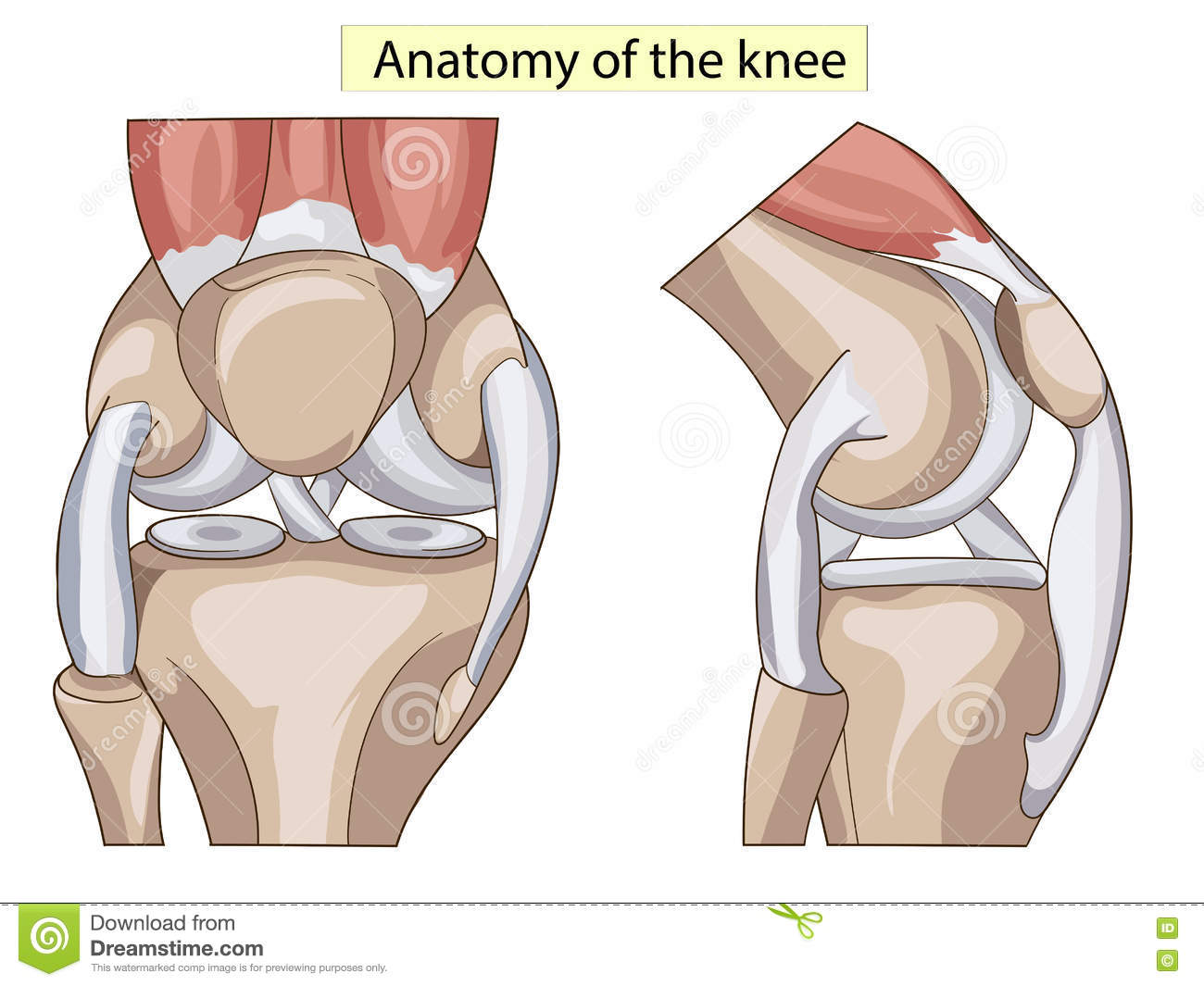 Anatomy Structure Knee Joint Vector Stock Vector Illustration Of