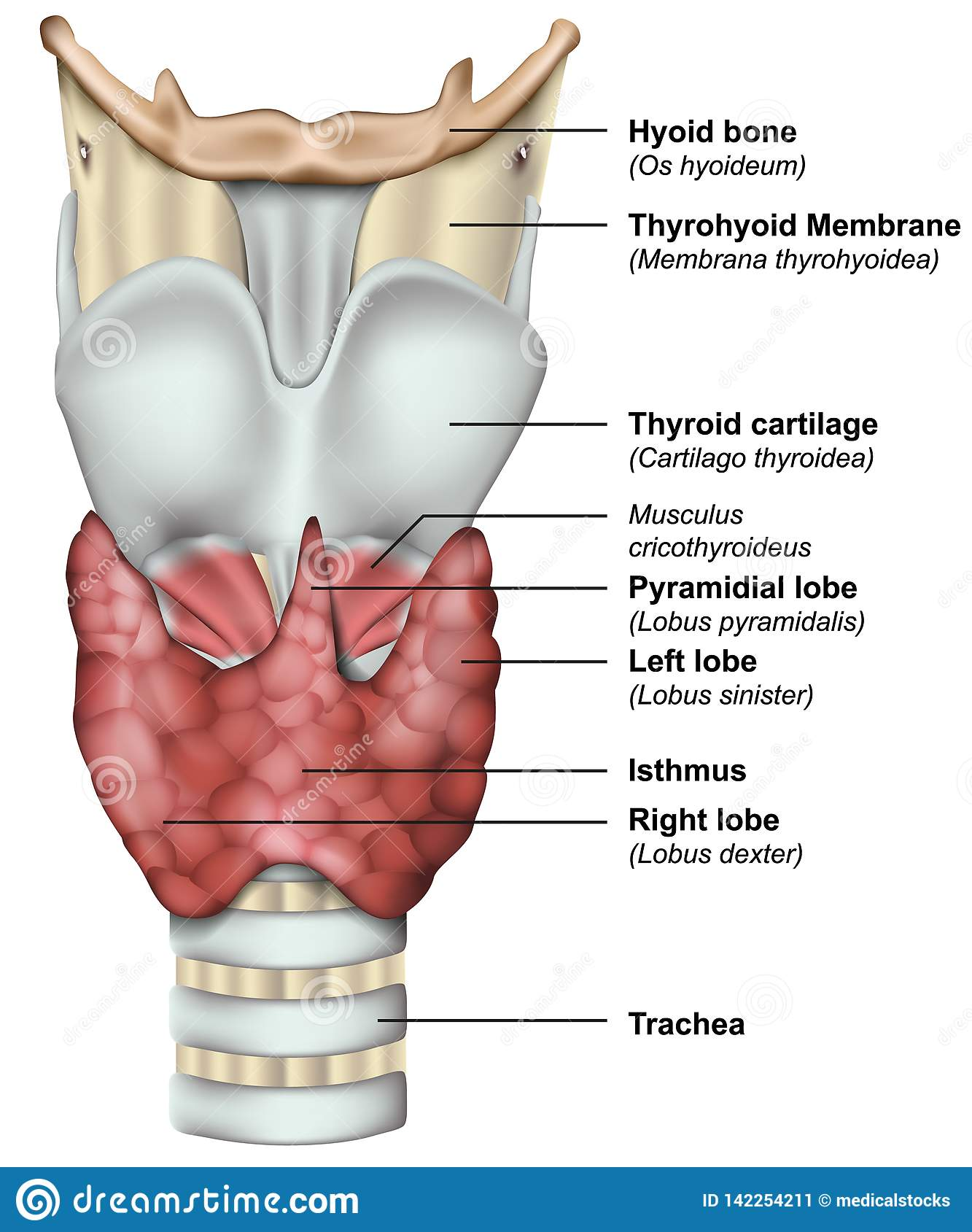 Anatomy Of The Thyroid Gland Medical 3d Illustration Stock