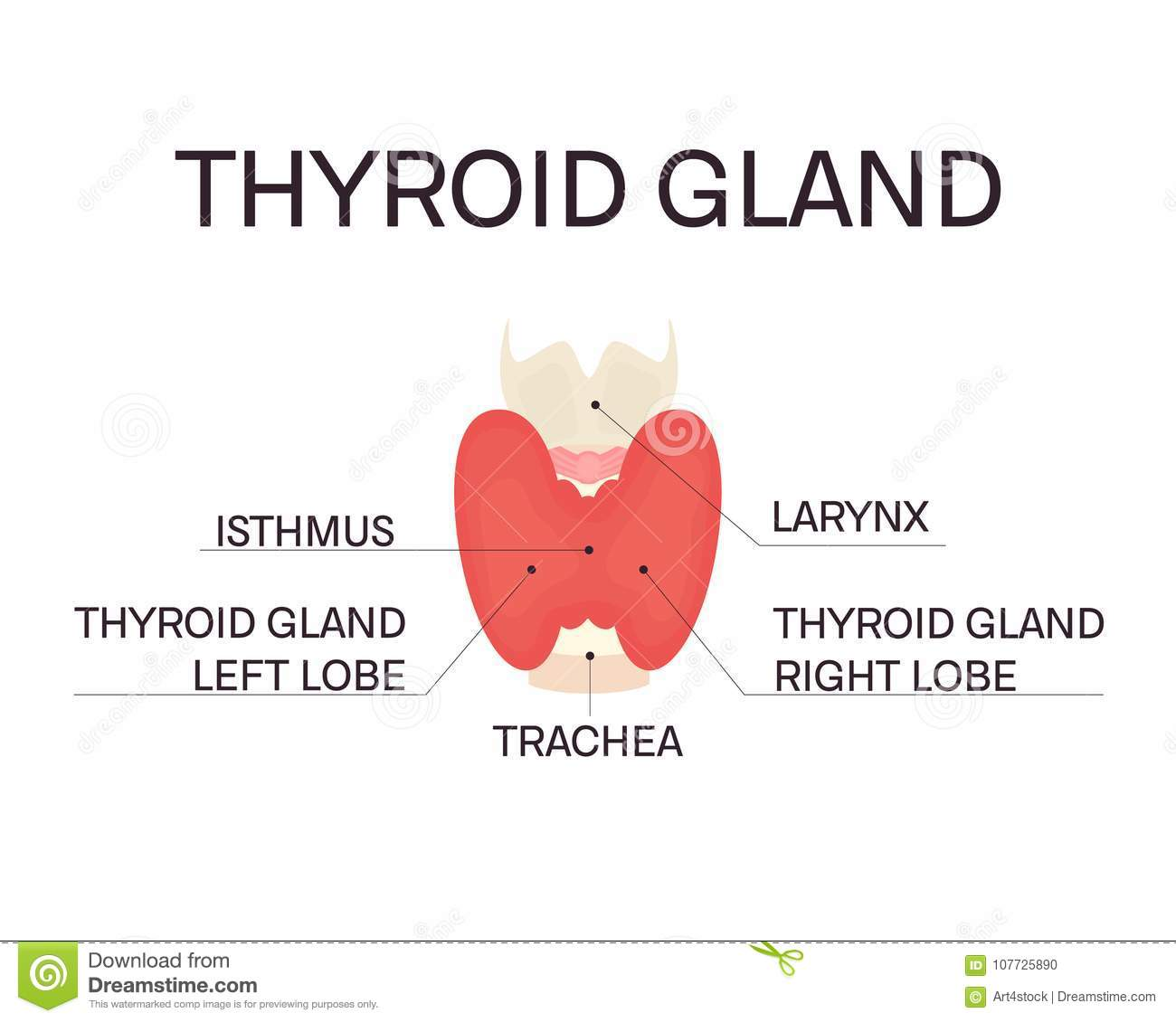 Anatomy of thyroid gland stock vector. Illustration of lobe - 107725890