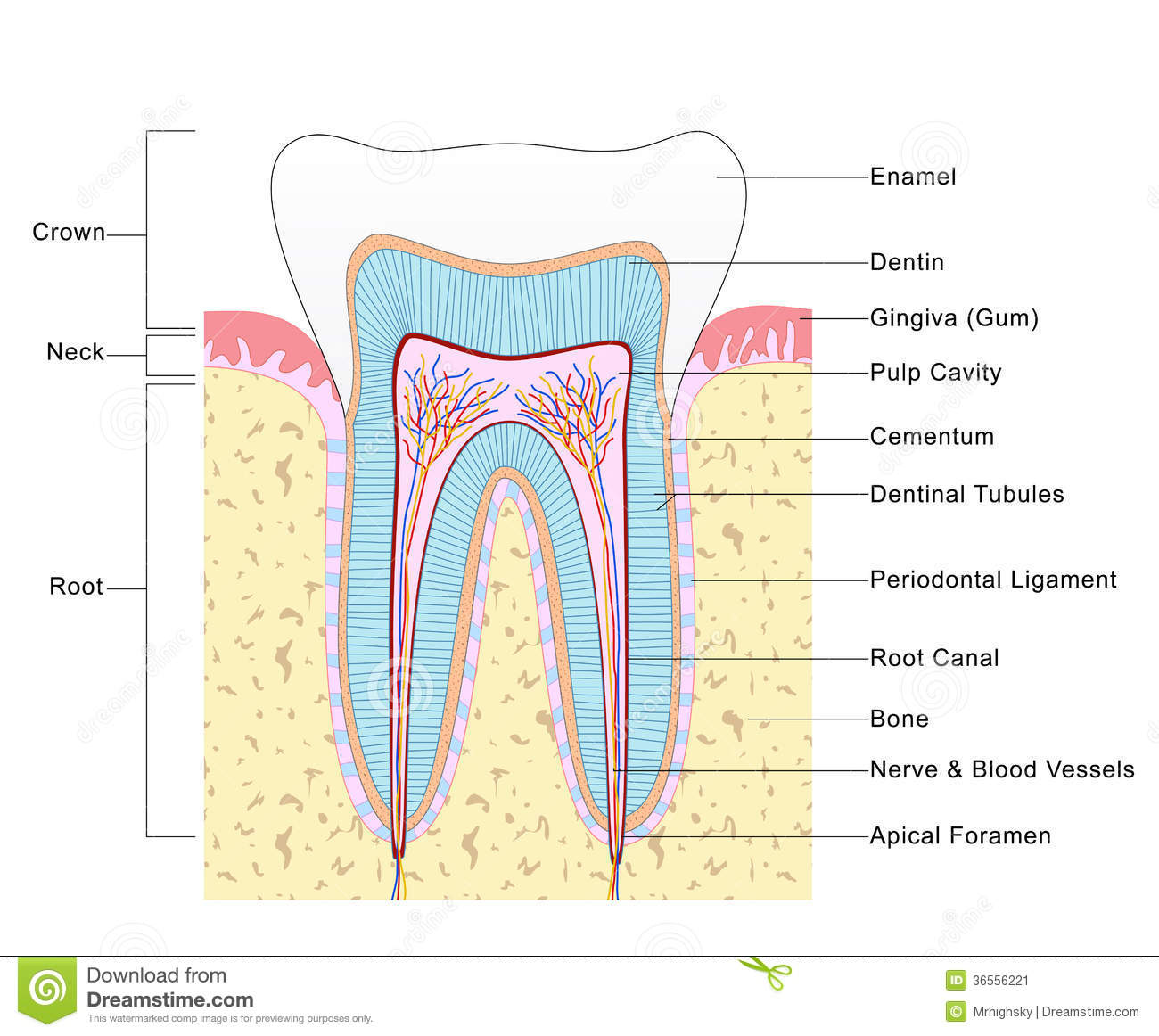 Anatomy of Tooth stock illustration. Illustration of colored - 36556221