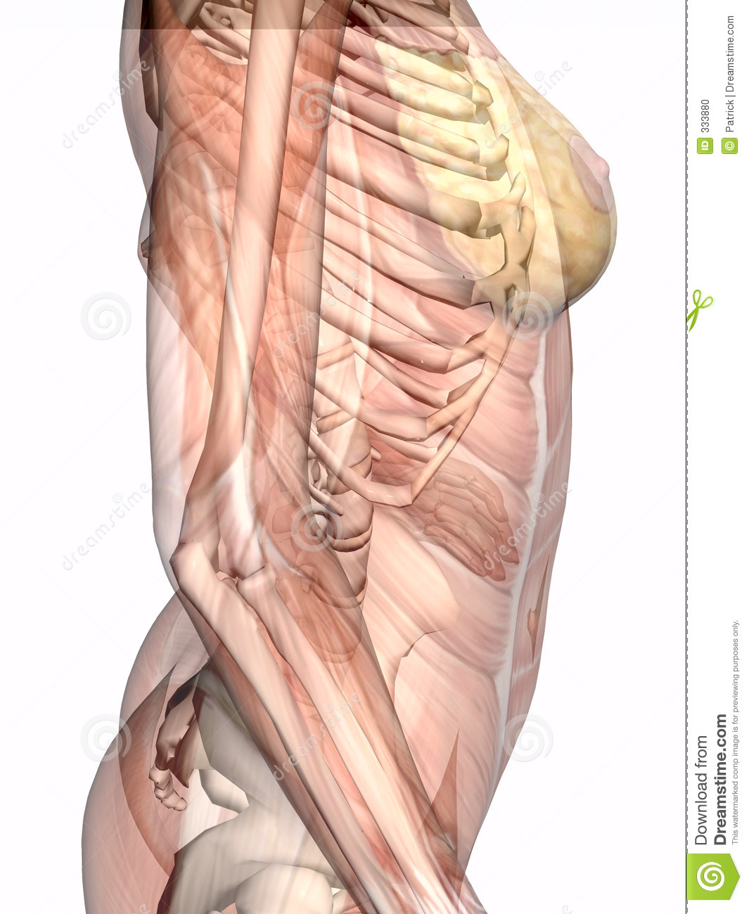 Anatomy, Transparant Muscles With Skeleton. Stock Illustration ...