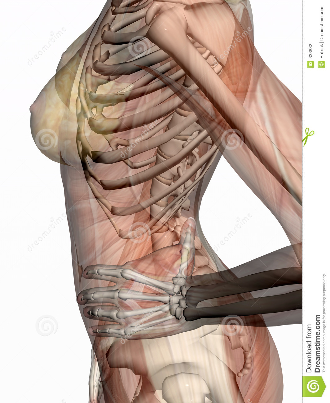 Anatomy Transparant Muscles With Skeleton Stock Illustration