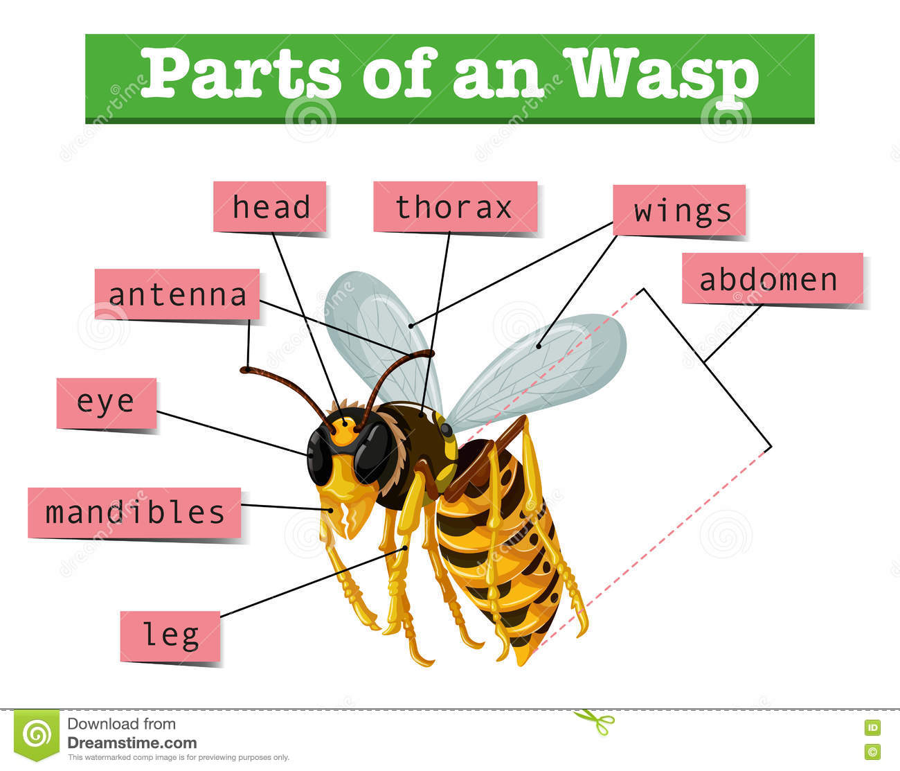 Anatomy of wasp with words stock vector. Illustration of wildlife ...