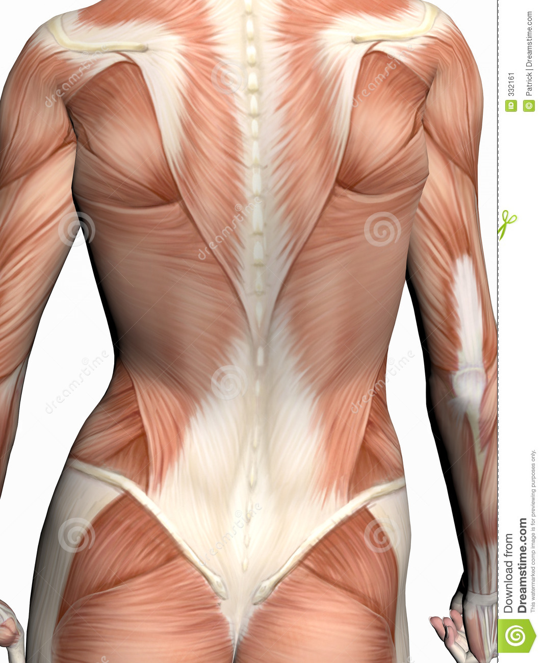 Anatomy of a woman. stock illustration. Illustration of chest - 332161