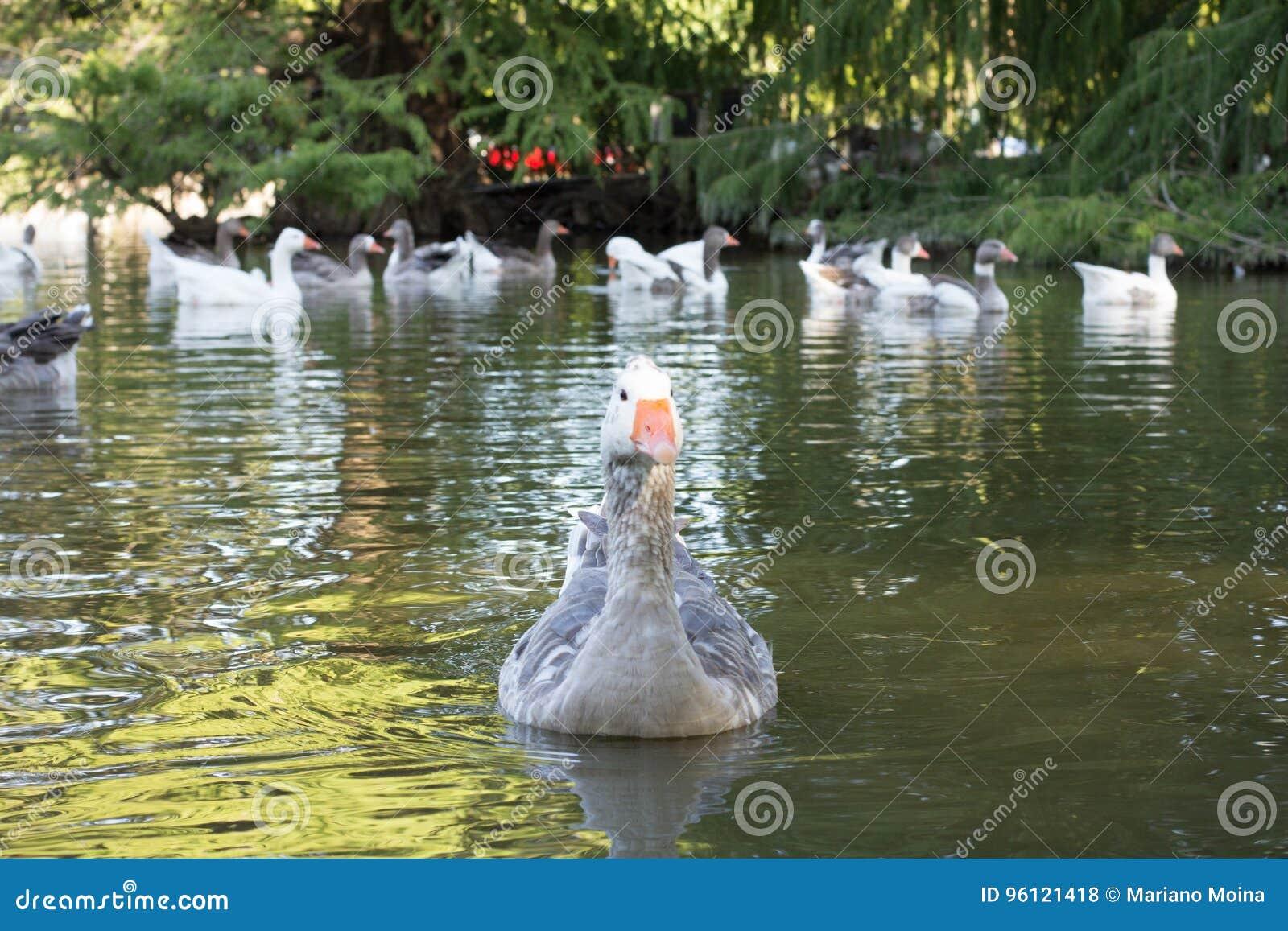 Anatra sul lago