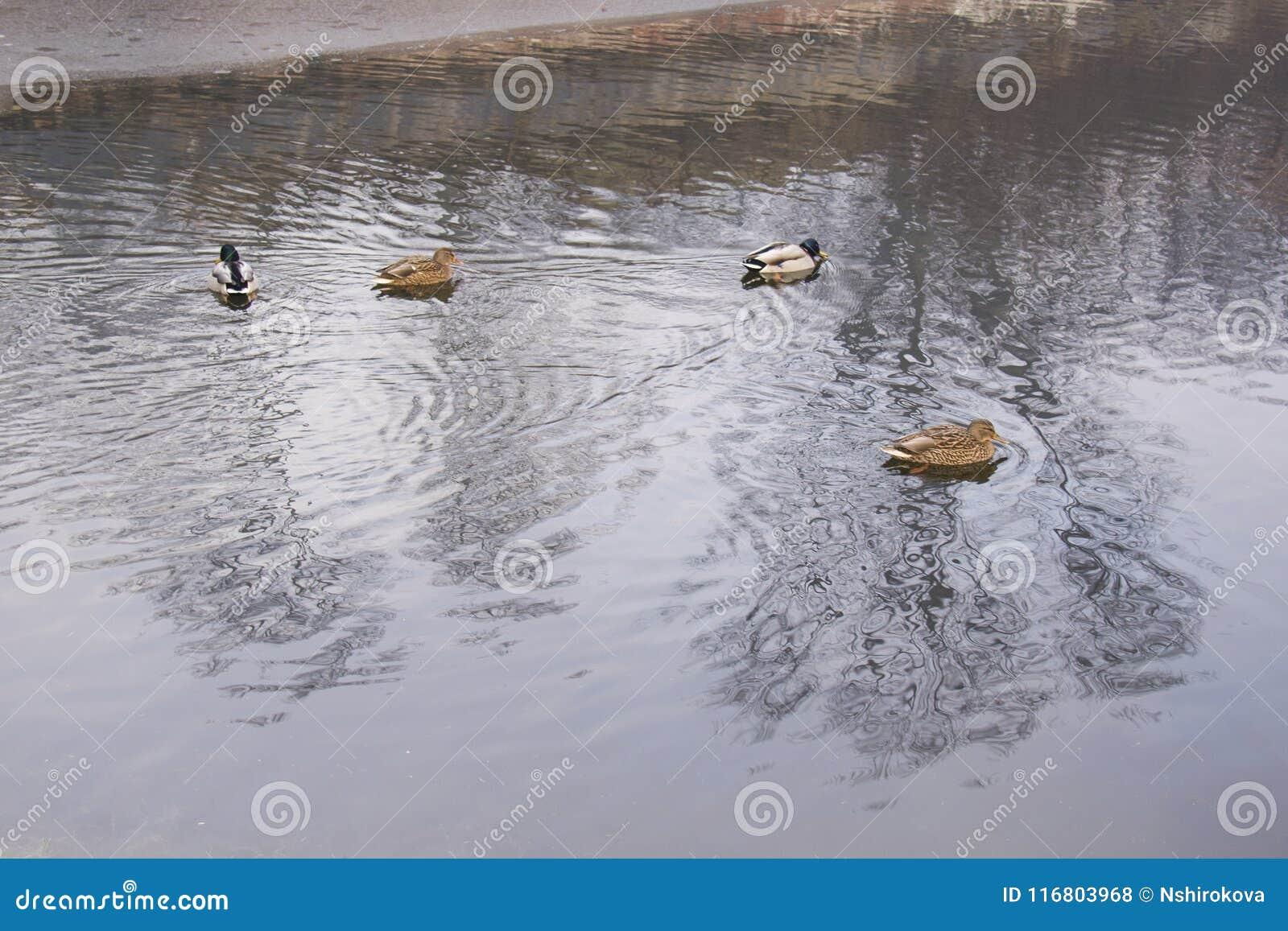 Anatre in acqua, accanto alla riva