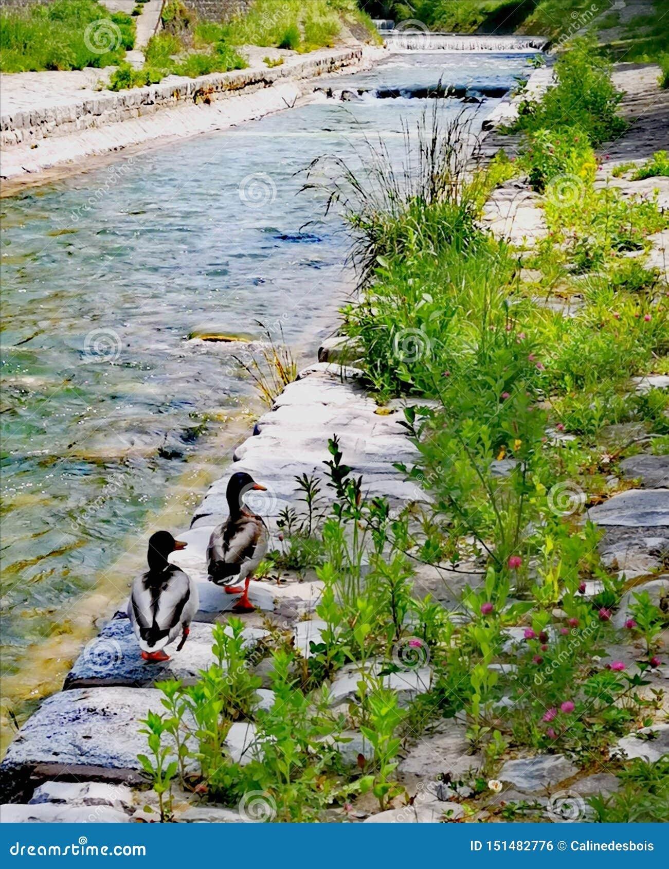 2 anatre che vanno sul Veveyse sulla riva di questa