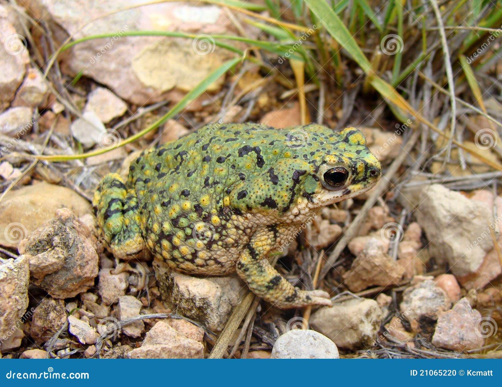 Anaxyrus debilis zielony kumaka western
