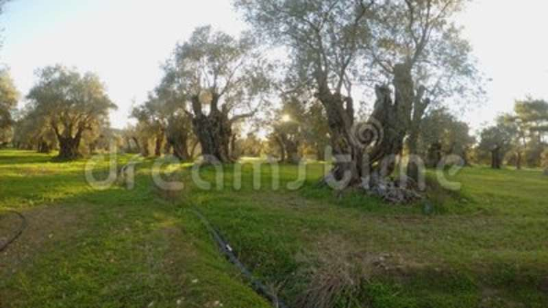 ancient centuries old olive garden sleeps in the evening sun in winter in the mediterranean panorama to the left stock footage video of king - Olive Garden Winter Park
