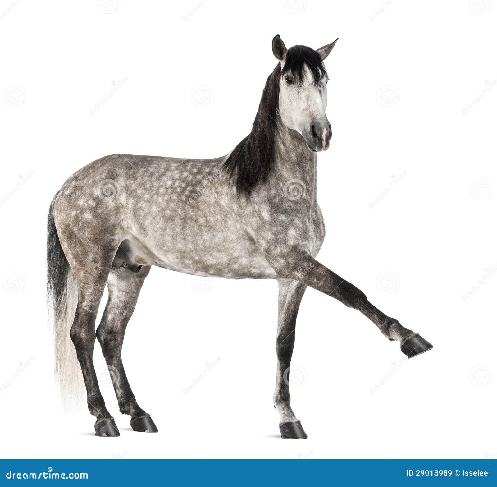 Andalusian поднимая переднюю ногу, 7 лет старых, также известную как чисто испанская лошадь или PRE
