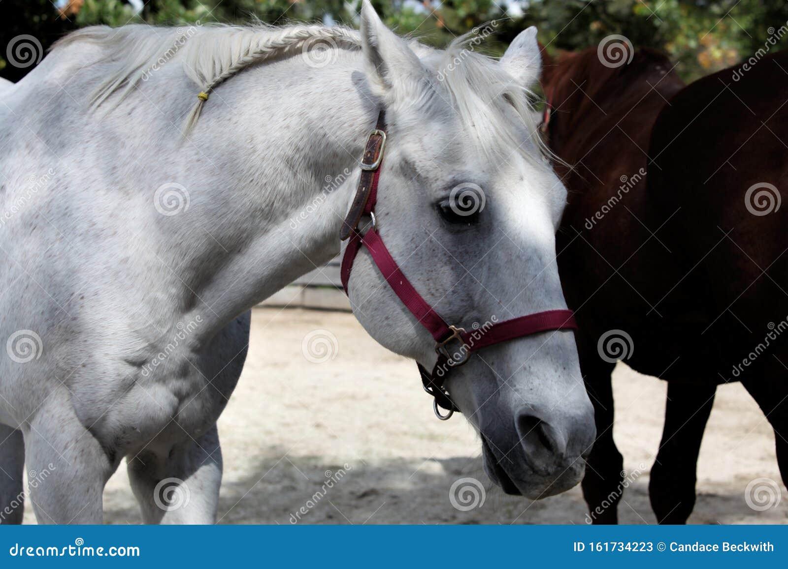 Andalusian Spanish Stallion Stock Image Image Of Mammal Noble 161734223