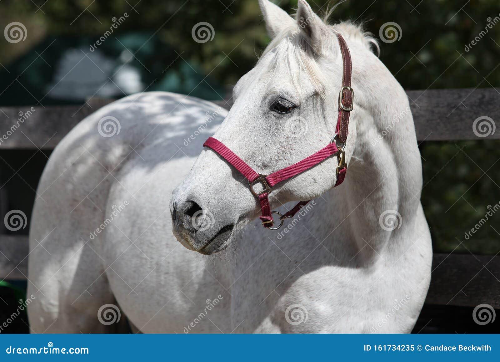 Andalusian Spanish Stallion Stock Image Image Of Racehorse Spanish 161734235
