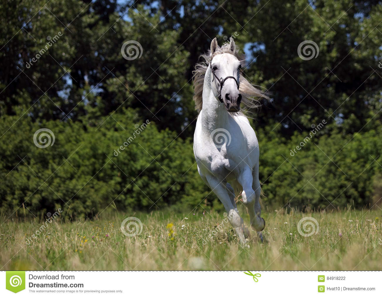 Andalusian stallion galloping across a green meadow