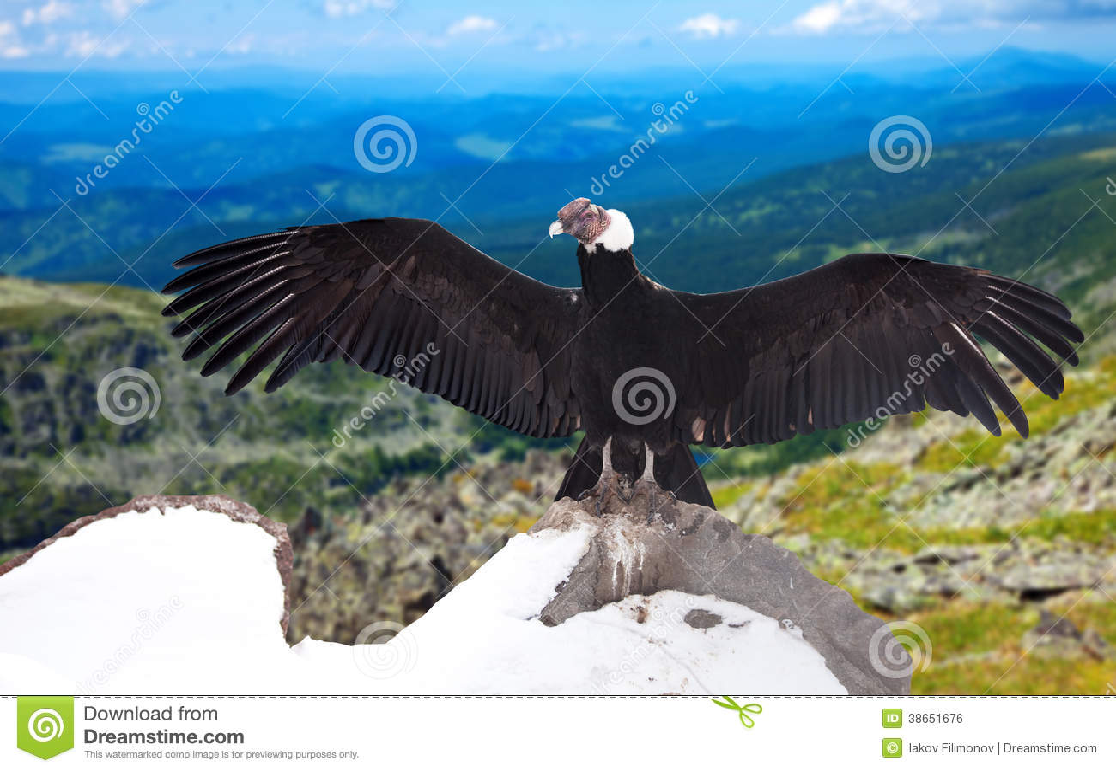 Andean condor in wildness area