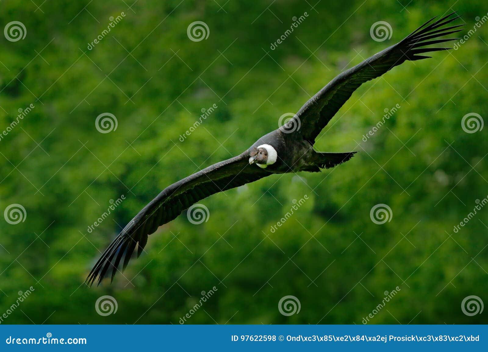 Andean kondor, Vulturgryphus, stora fåglar av rovflyget ovanför berget Gam i stenen Fågel i naturlivsmiljön, Peru