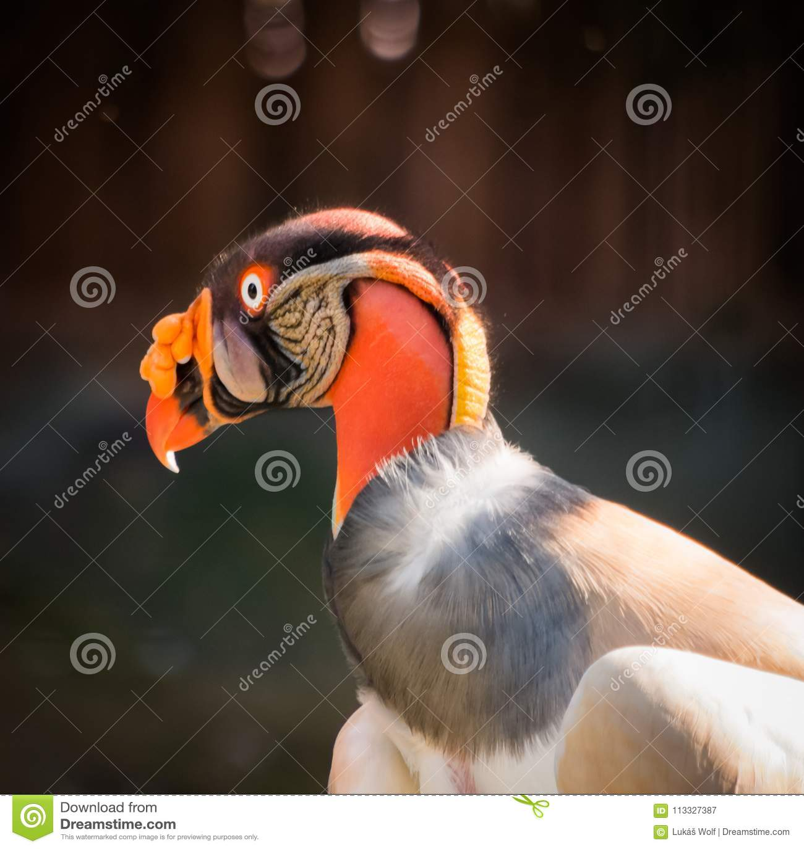 Andenkondor Gypaetus barbatus