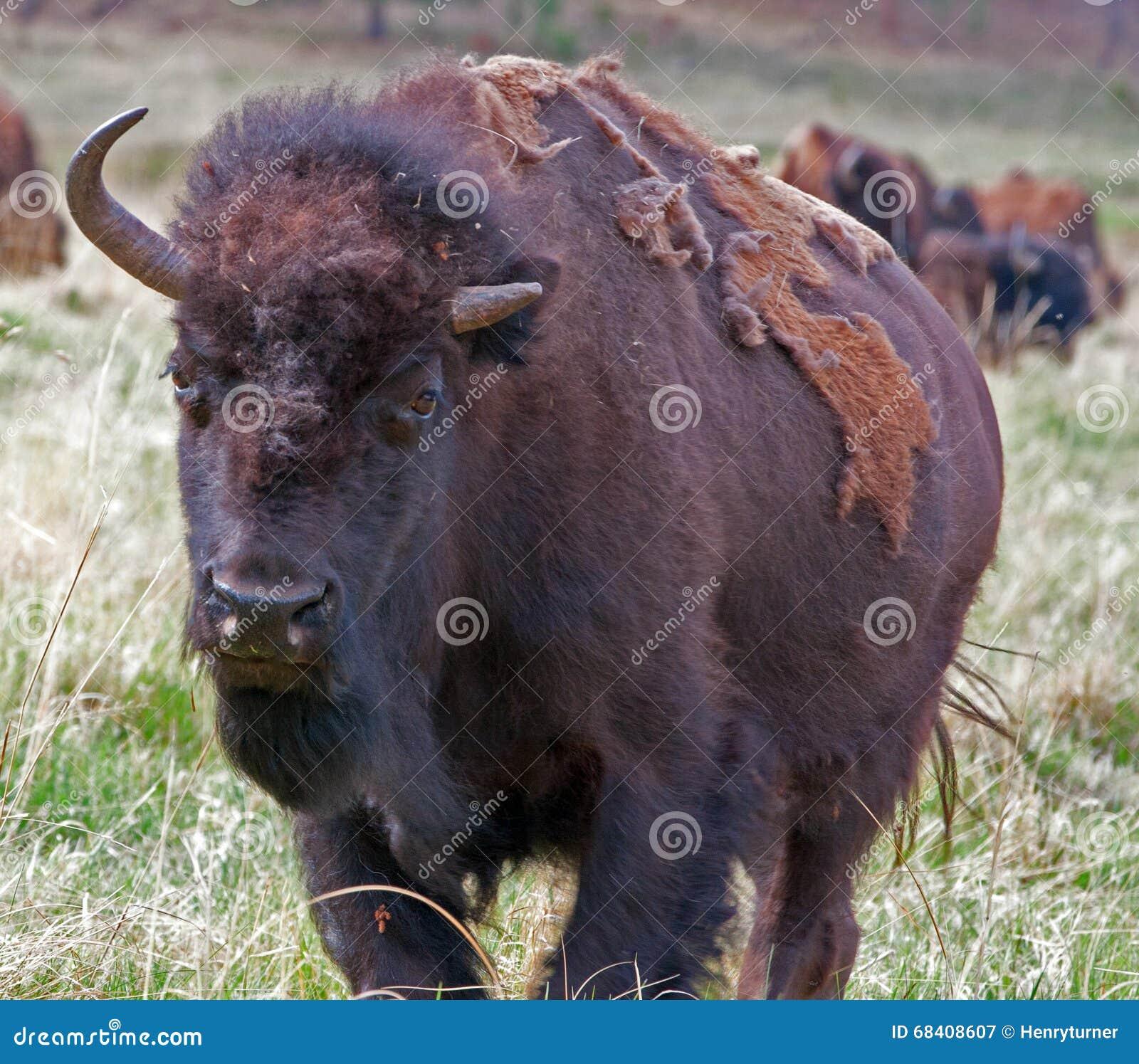 Anderthalb gehörnter Bison Buffalo in Custer State Park im Black Hills von South Dakota USA
