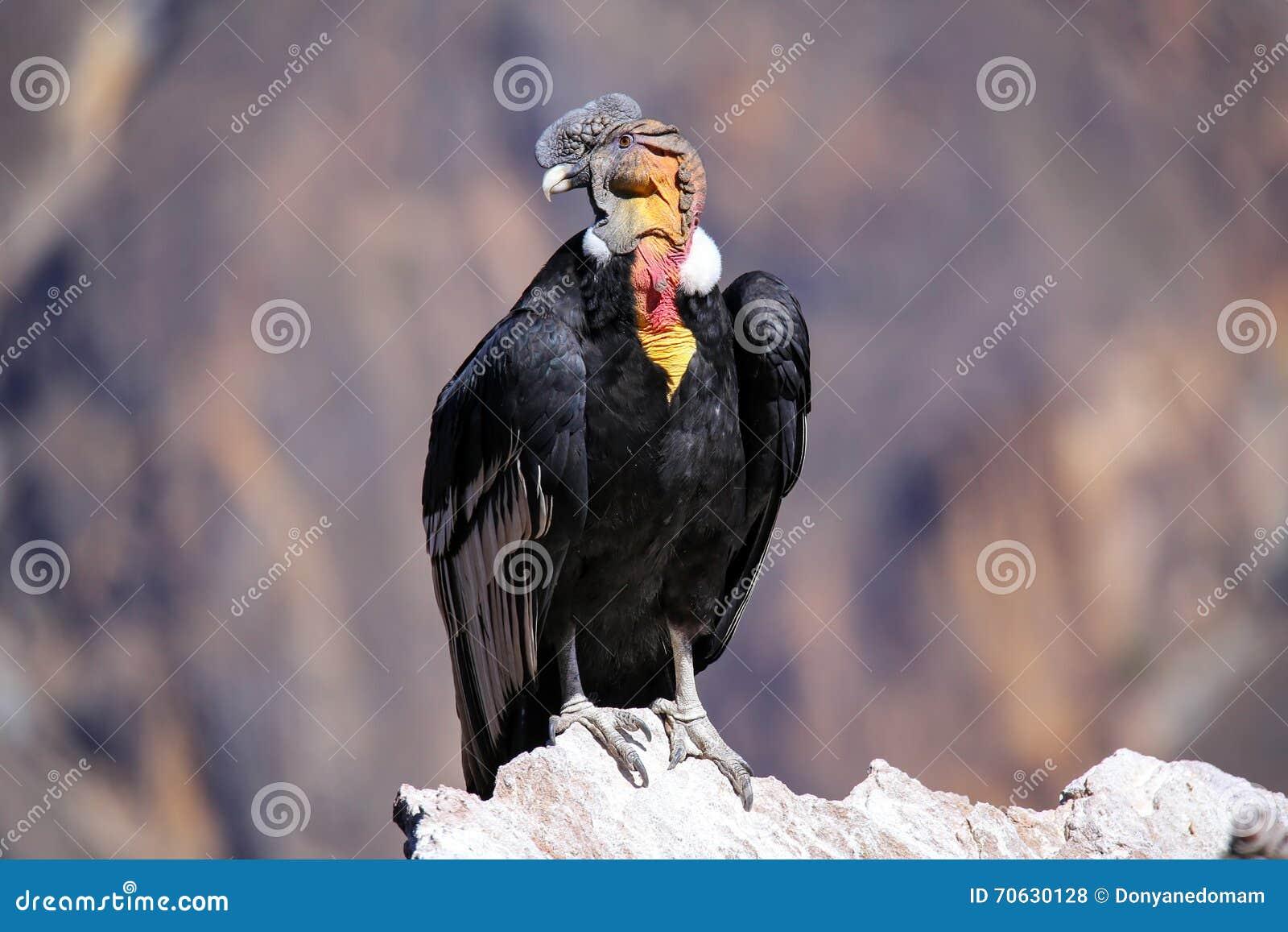 Andescondorzitting in Mirador Cruz del Condor in Colca-Canion