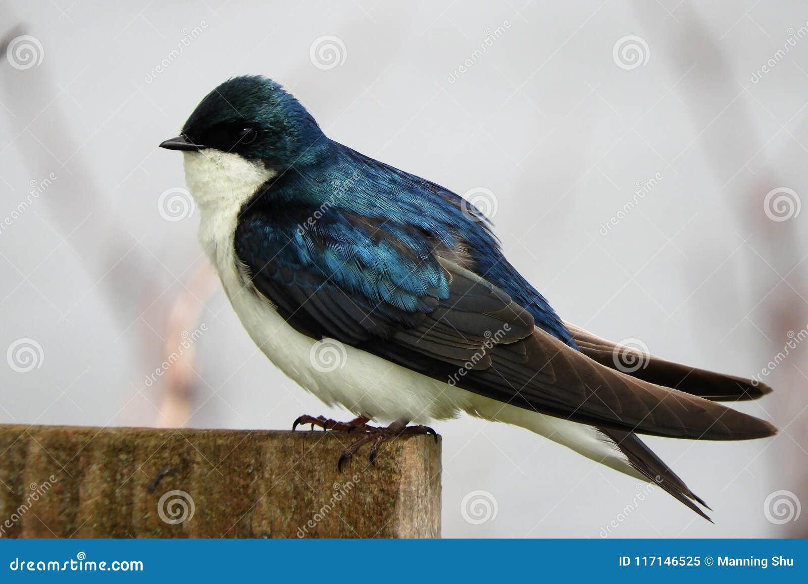 Andorinha de árvore azul empoleirada no cargo de madeira