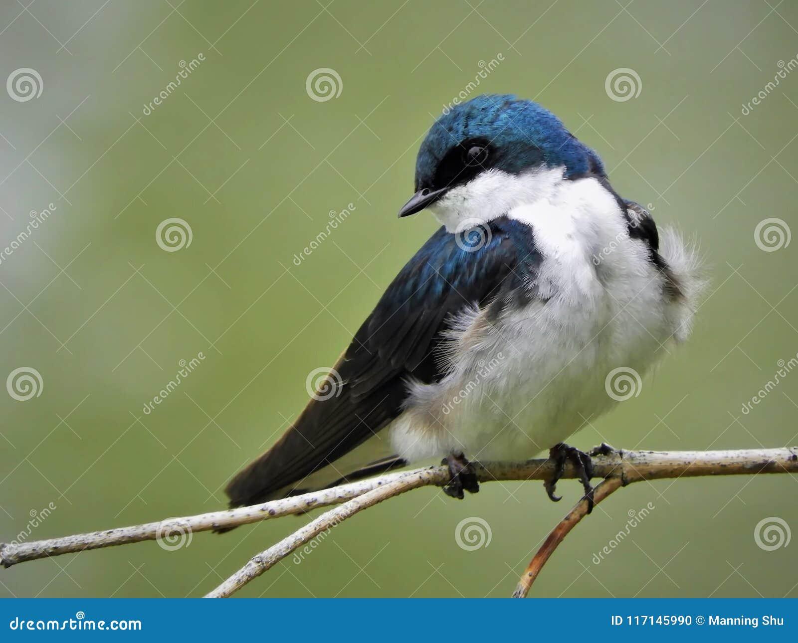 Andorinha de árvore azul empoleirada no galho