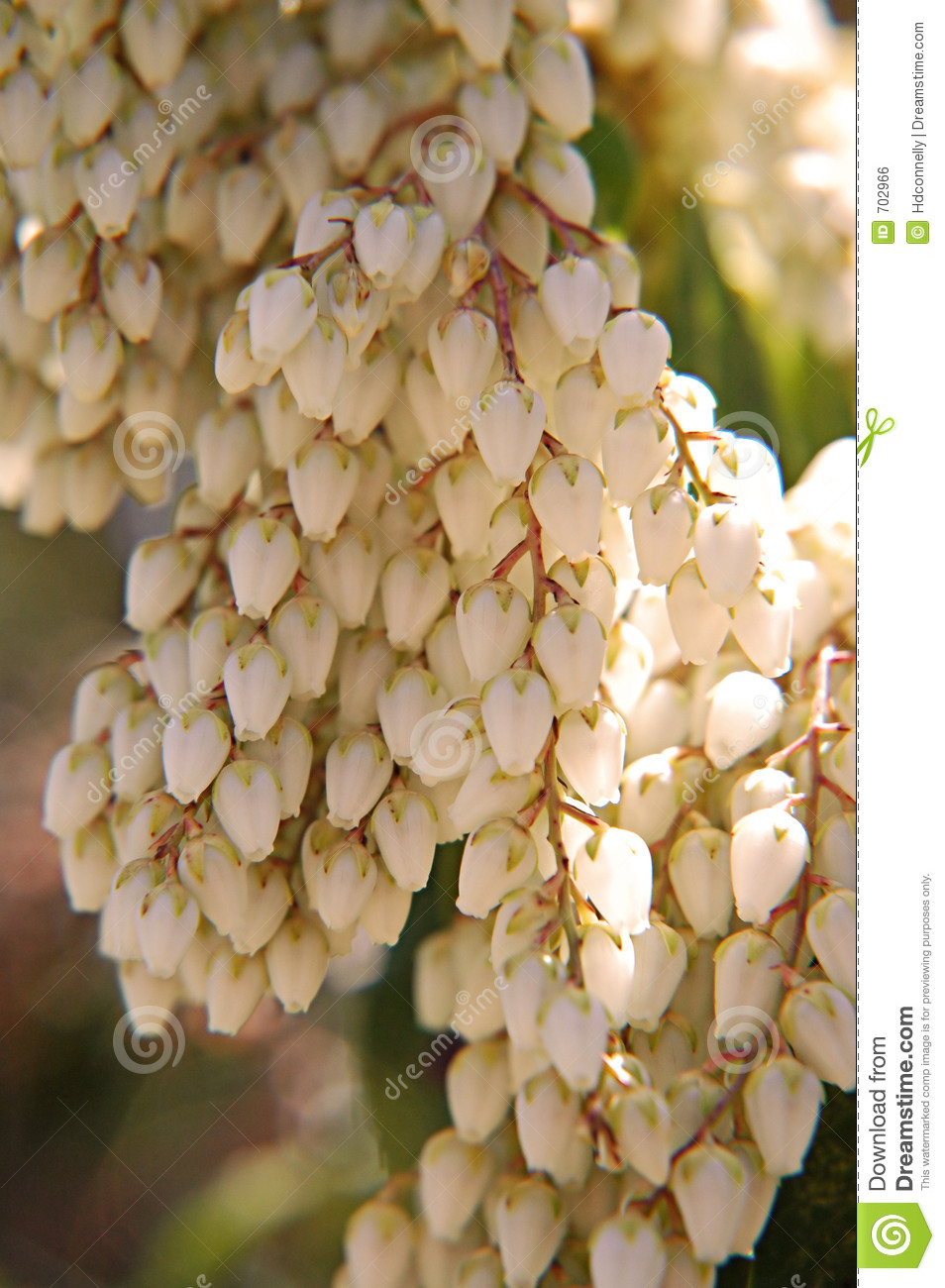 Andromeda stock photo. Image of flower, spring, outdoor - 702966