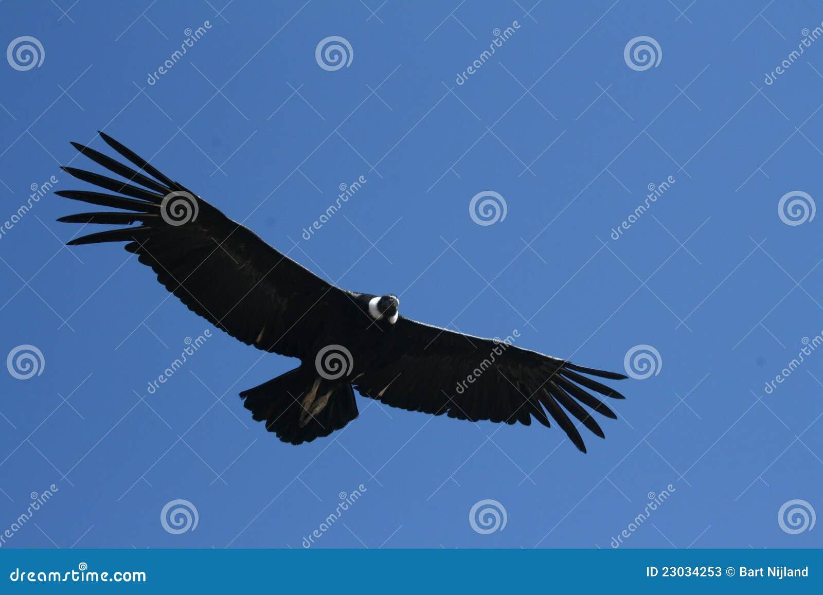 Andyjski jaru colca kondora gryphus vultur