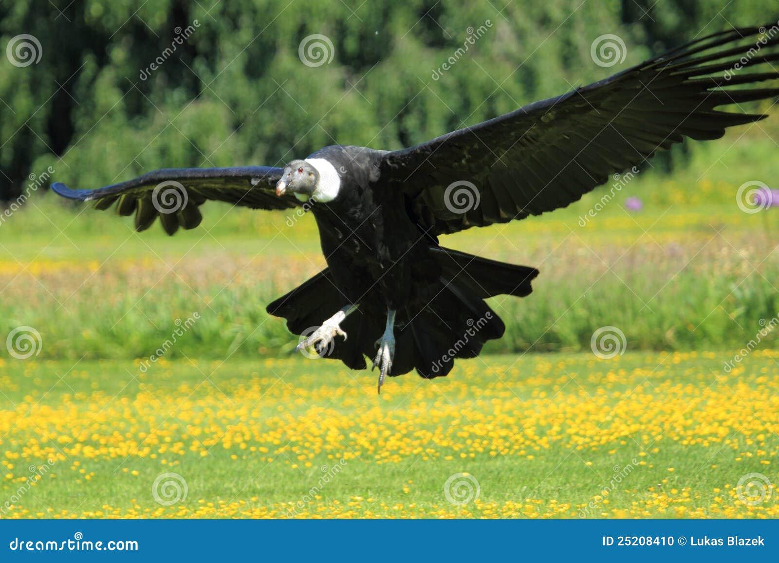 Andyjski kondor