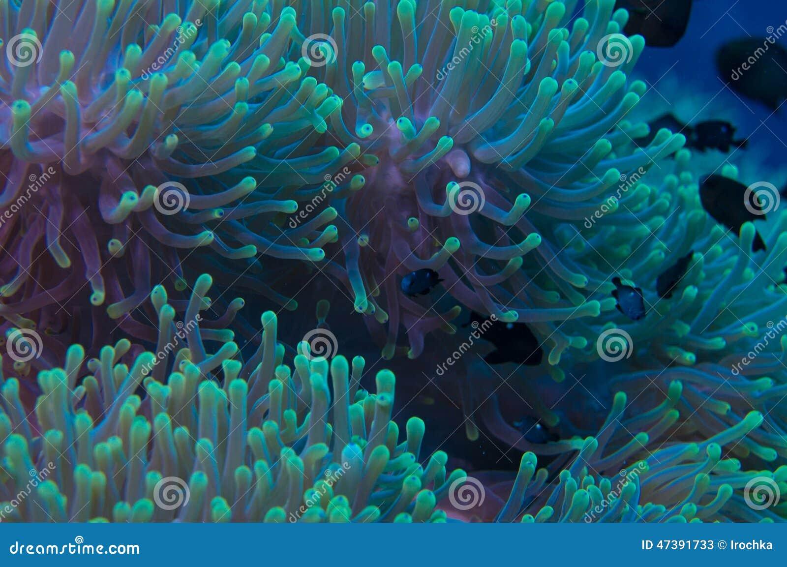 Anemon na rafie koralowa