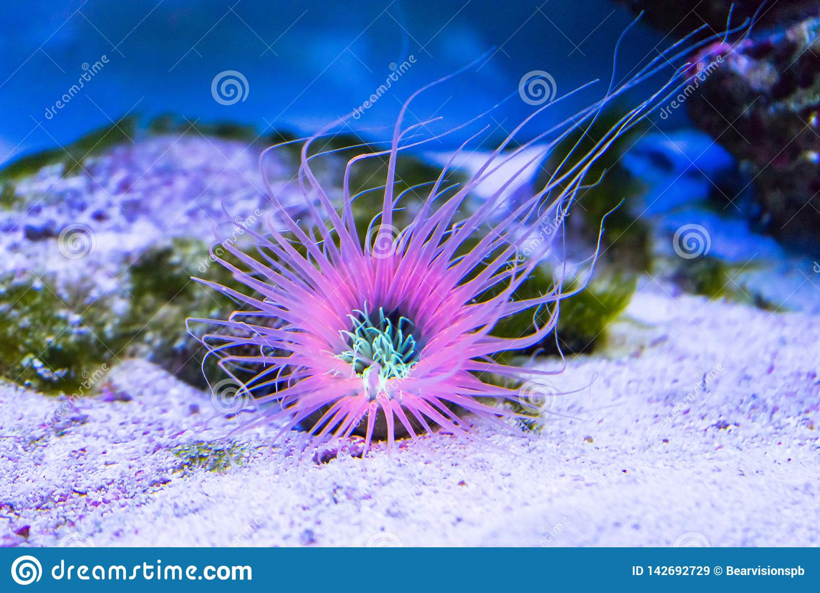 Anemone σωλήνων στο κατώτατο σημείο άμμου